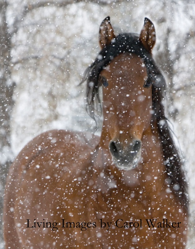 Horses In The Fall Wallpaper Horse Photography Photographing Horses In The Snow Part 1