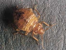Bed Bug Pictures Symptoms And Treatment Preventing