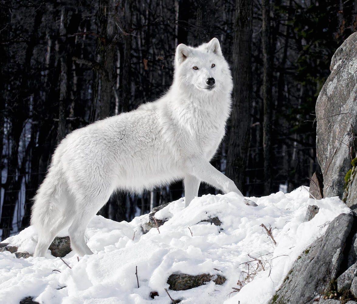 Cute Husky Wallpaper Lobo Blanco En La Nieve Im 225 Genes Y Fotos