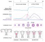 menstrualcycle