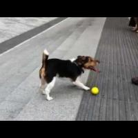 Cute And Clever Dog Plays Fetch With Himself