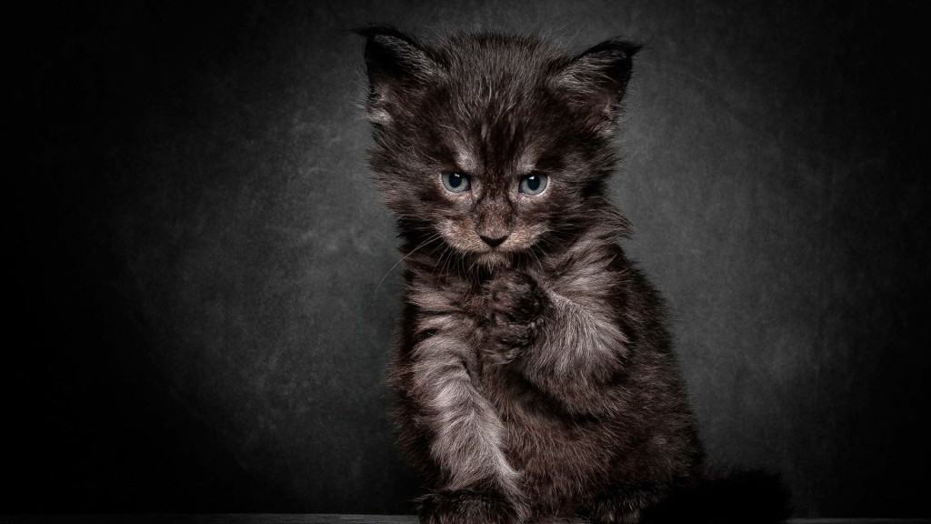 Cute Little Gray Cat For Wallpaper 20 Of The Most Evil Cats You Ll Ever See Page 5 Of 5