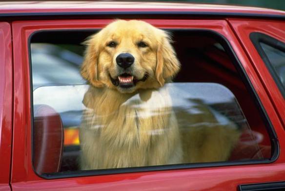 Dog Out Car Window