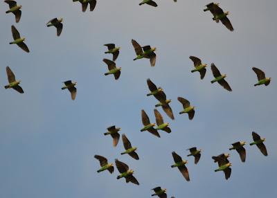 Cape-parrot_Poicephalus_robustus-flock_Photo-Colleen_Downs (1)