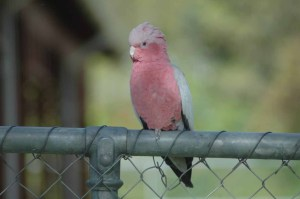 Pink and Grey Galah