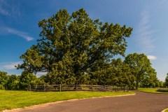 oak-tree-lawrence-03321