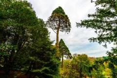 giant-sequoia-1758