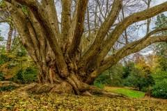 katsura-tree