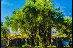 olive-tree3-Arcosanti
