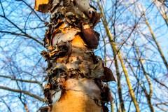 birch-bark-