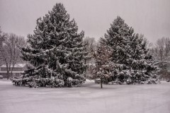 evergreen-trees-1-of-1