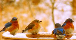 Happy bluebirds