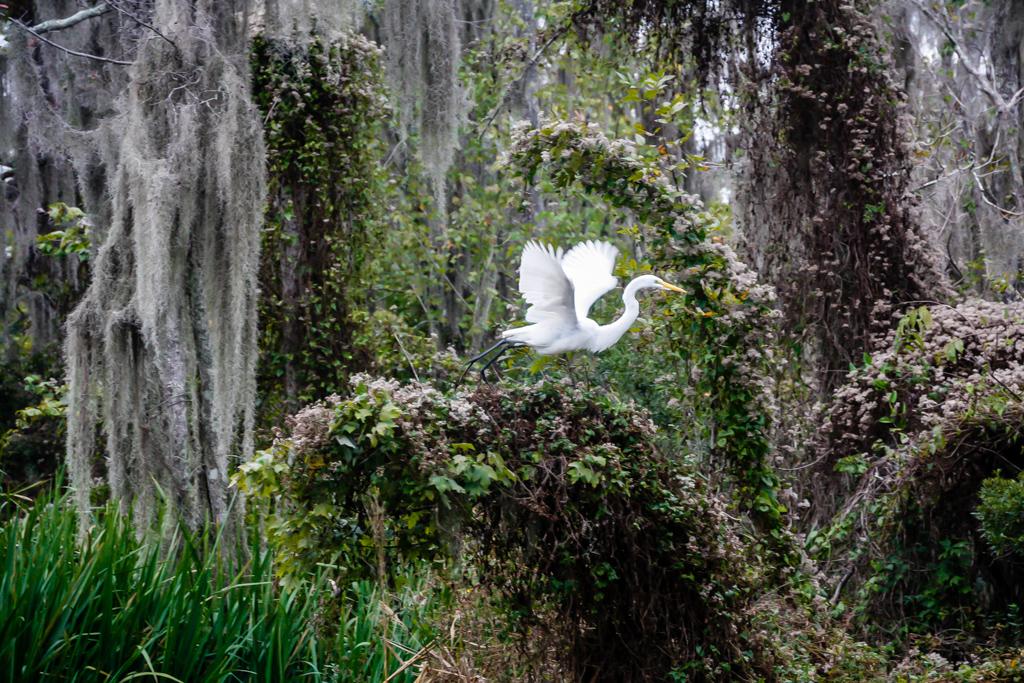 honey island swamp egret louisiana-2