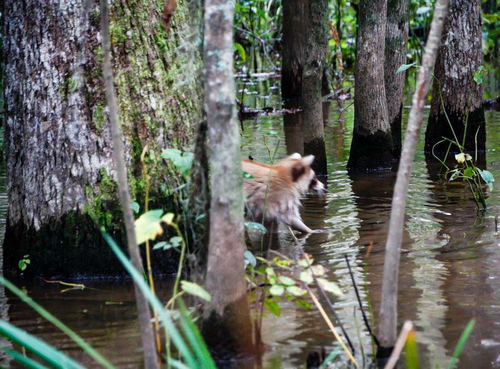 honey island swamp raccoon-2