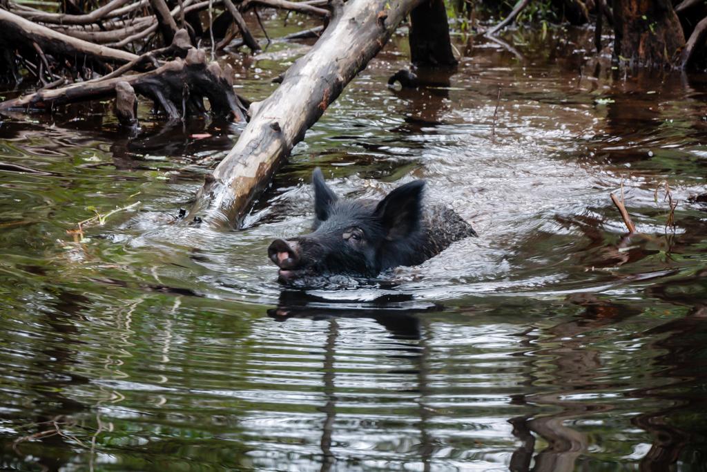 swamp louisiana pig honey island_-2