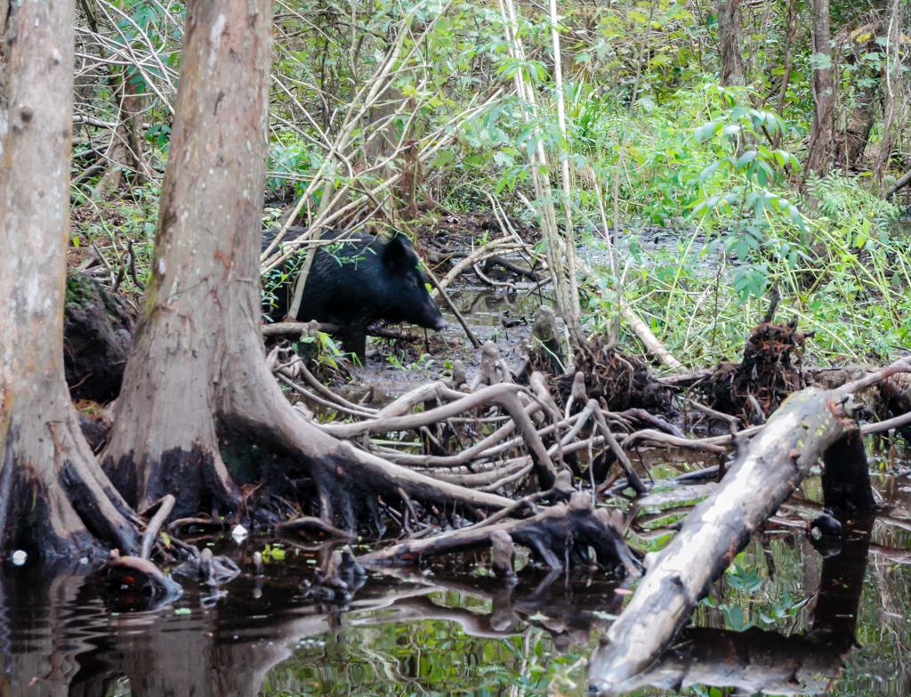 swamp louisiana pig honey island_