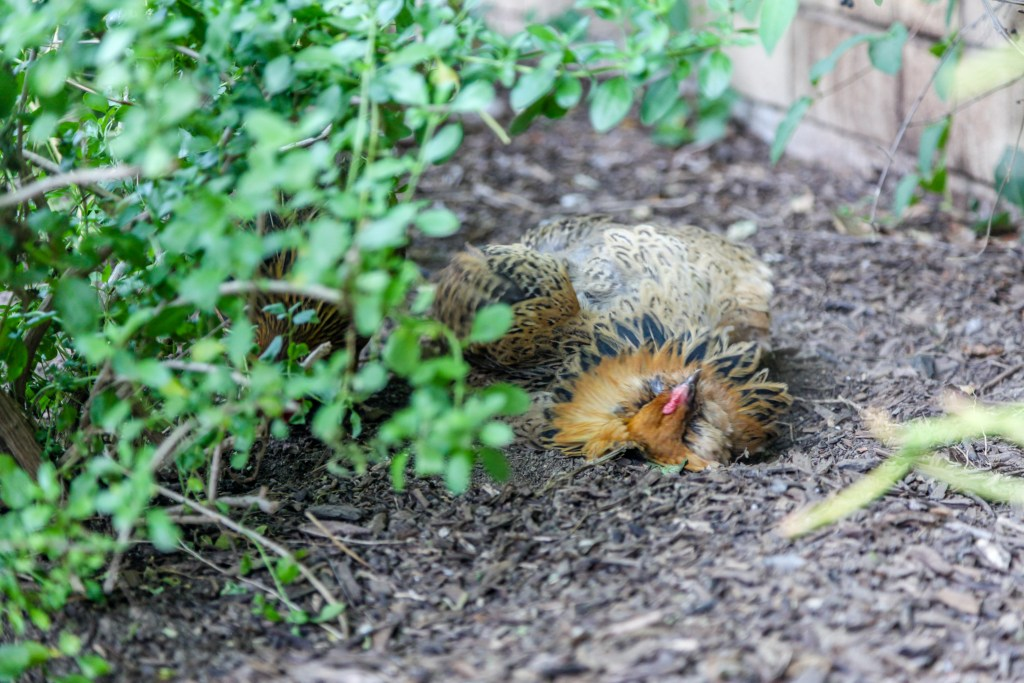 backyard chicken dust bath