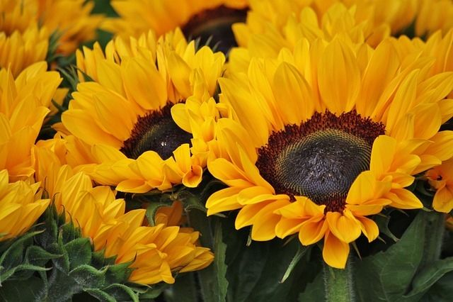 Sunflower Wallpaper Desktop Quote Beautiful Sunflowers Pictures Photos And Images For