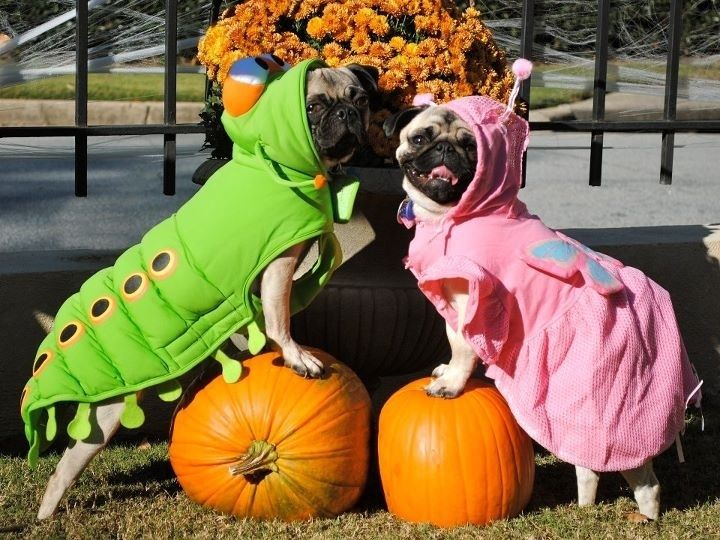 Fall Wallpaper With Pumpkins Halloween Pugs Pictures Photos And Images For Facebook