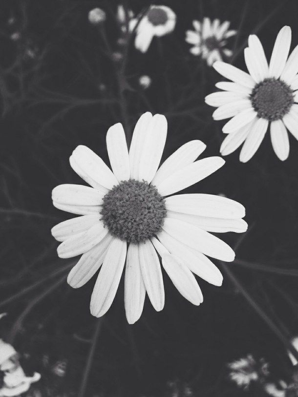 Daisy Iphone Wallpaper Black And White Daisies Pictures Photos And Images For