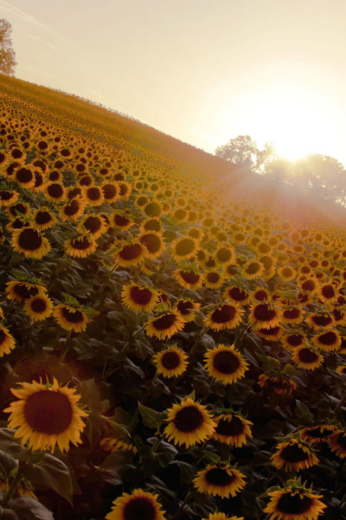 Fall Sunflower Desktop Wallpaper Sunflower Sunrise Pictures Photos And Images For