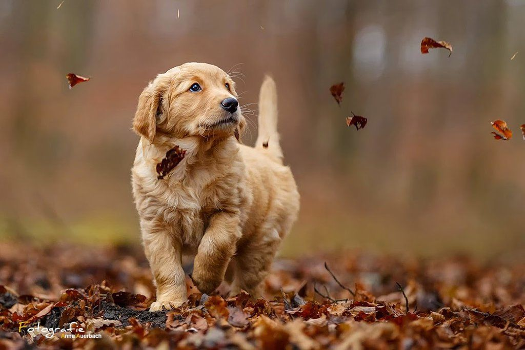 Fall Leaves Fox Wallpaper Golden Retriever Pictures Photos And Images For Facebook