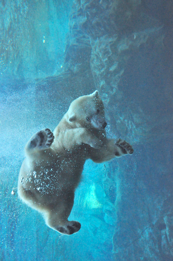 Seasonal Wallpaper For Iphone Polar Bear Underwater Pictures Photos And Images For