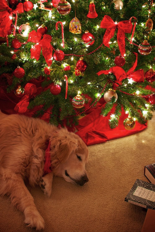 Cute Cats Wallpaper With Quotes Cute Dog Sleeping By The Christmas Tree Pictures Photos