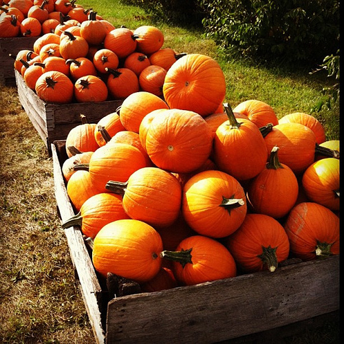 Fall Pumpkins Desktop Wallpaper Patches And Patches Of Pumpkins Pictures Photos And