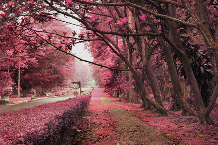 Japan Fall Colors Wallpaper Pink Tree Lined Street Pictures Photos And Images For