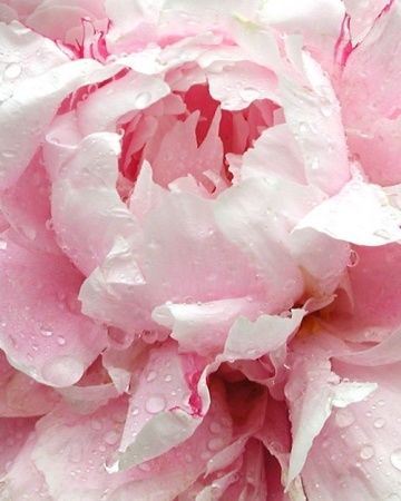 Peony Love Quote Wallpaper Pale Pink Peony Pictures Photos And Images For Facebook