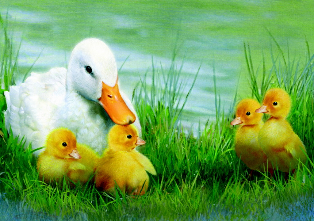 Cute Duckling Wallpaper Mama Duck Amp Ducklings Pictures Photos And Images For