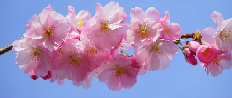 Blossoms login cherry dating Cherry Blossoms