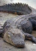 Florida_Alligator