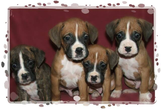 Image For Boxer Puppies For Sale Loyal Comrade Boxers