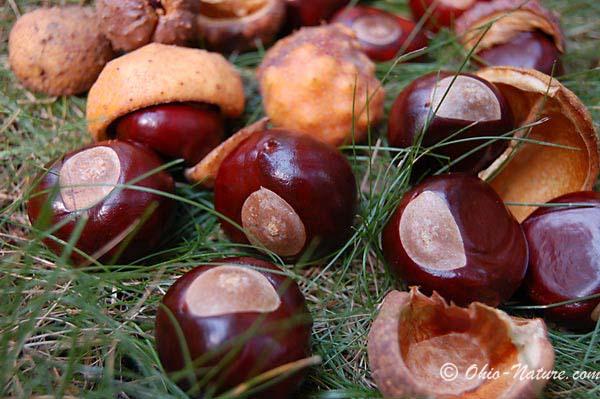 buckeye-nuts-lg2