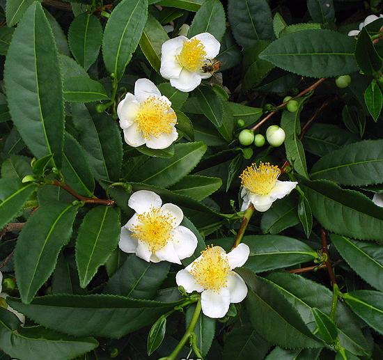 Una pianta di Camellia sinensis