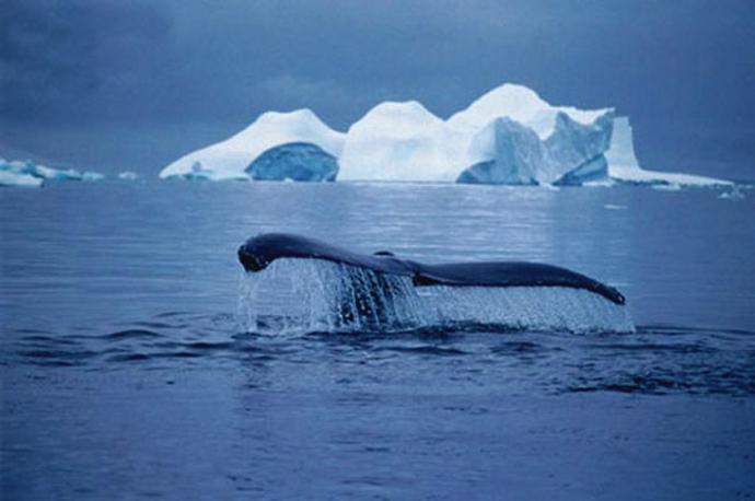 balene_e_icebergs