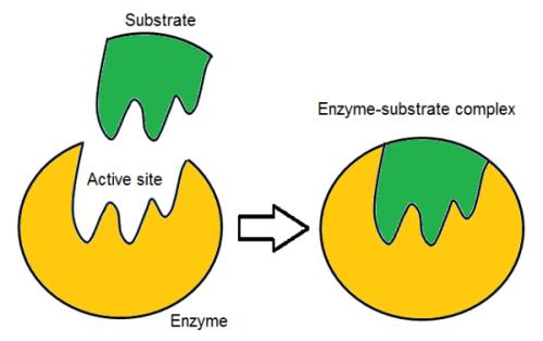 """Ll modello """"chiave-serratura"""" (seppure non unico) è in grado di spiegare efficacemente l'attività enzimatica,"""