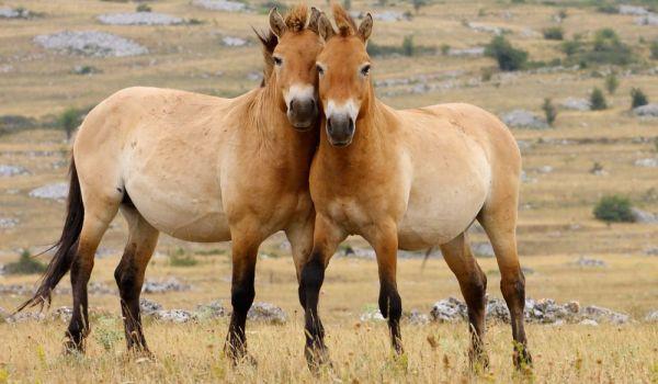 horses-wild-Przewalskis-horse.jpg.1000x0_q80_crop-smart
