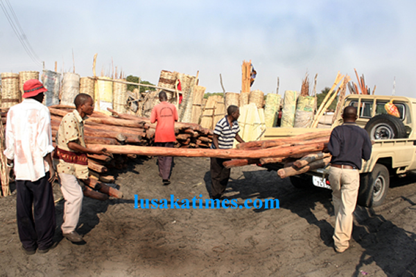 Zambia is losing revenue from illegal cutting of trees. Mongu district forestry department confiscating timber from unlicensed dealers at Mongu central market during a market inspection exercise in Mongu