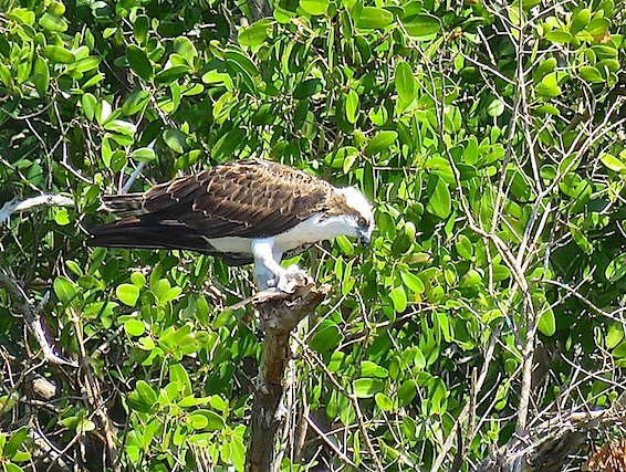 The Everglades are a birdwatcher's dream come true. This Osprey was hunting fish for dinner.
