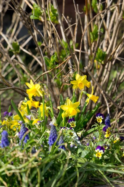 Jonquilles et petites fleurs violettes printemps Boston