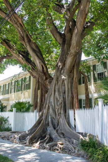 Arbre - Little White House of Key West - Floride
