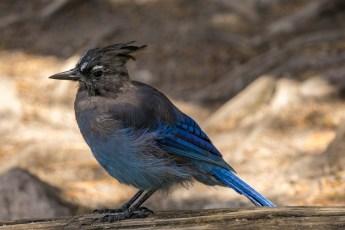 Rocky Mountain National Park - Sur la route après le Bear Lake - Colorado - oiseau bleu 1