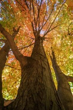 Mount Auburn arbres vues d'en dessous jolie lumière