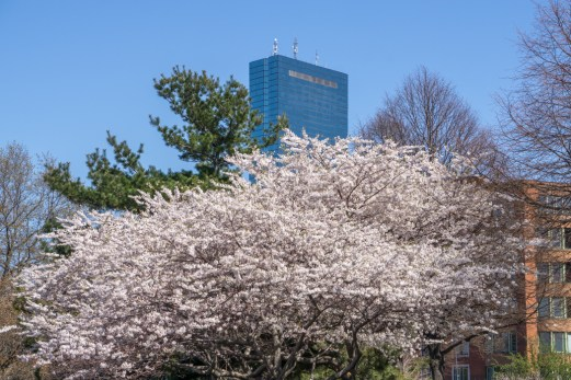 Printemps Boston floraison-7