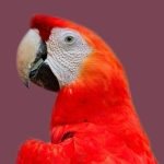 Scarlet Macaw, Parrot, Bird Red Macaw colorful