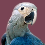 Spix, Cyanopsitta spixi, Spix Macaw