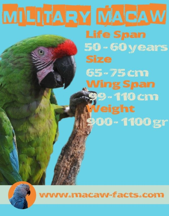 parrot lifespan wing size weight military parrot
